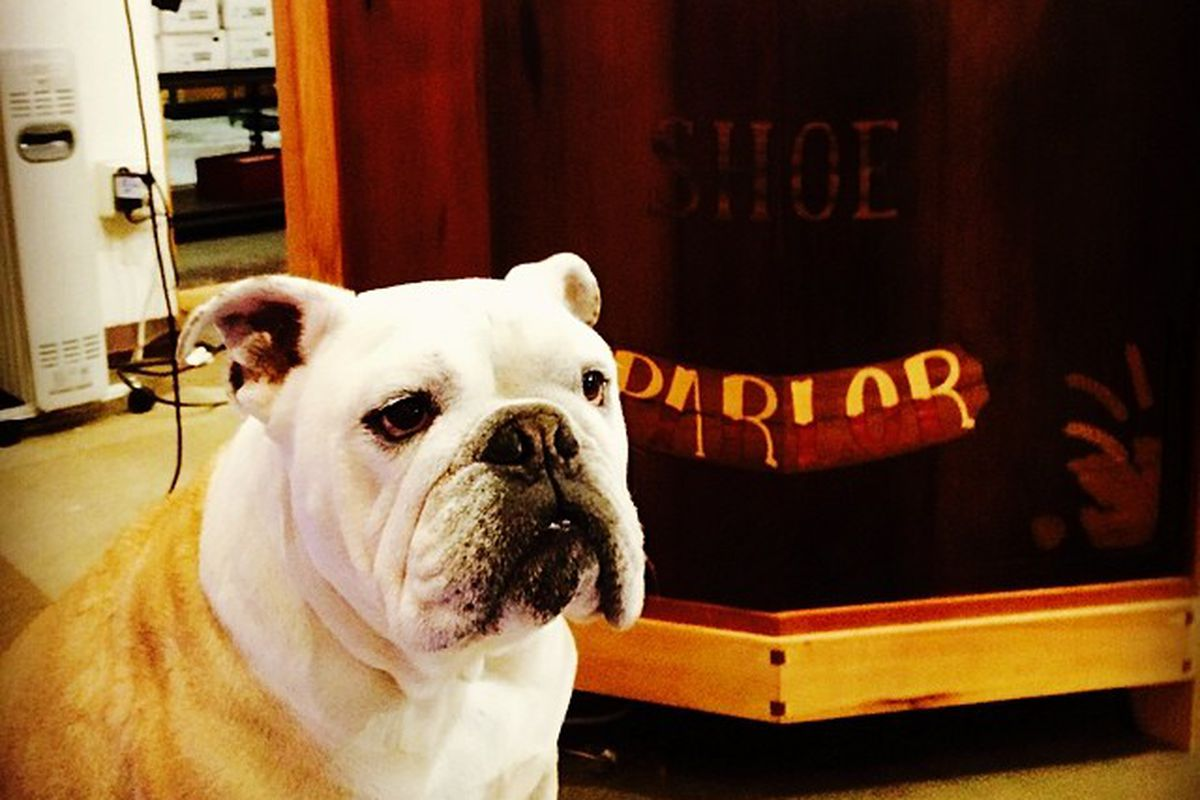 """Capone, the new boss at Piper's; photo via Piper's Shoe Parlor/<a href=""""http://instagram.com/pipersshoeparlor"""">Instagram</a>"""