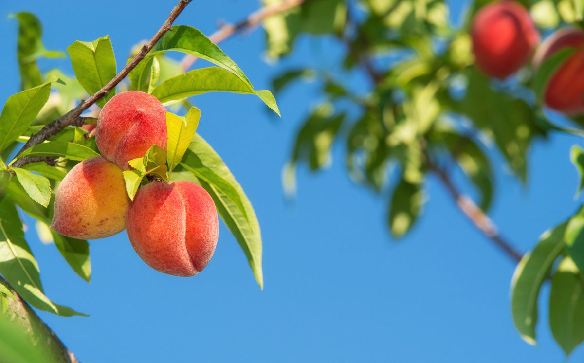Ripe peaches grow on a branch during a sunny day.