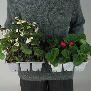 <p>The short, stocky annuals, on the right, with few open flowers, are a better buy than lanky plants, on the left, nearing full bloom</p>