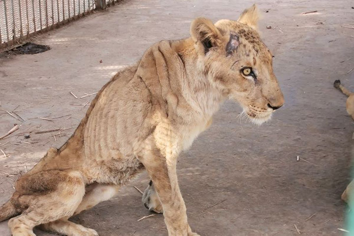 Starving lions in Sudan prompt viral campaign to save them