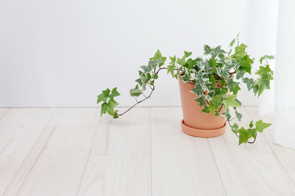 House Plants, English Ivy