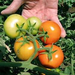 To protect your tomatoes, remove ones that are cracked or soft; mature fruit will ripen off the vine if they are kept in a cool, dry place.