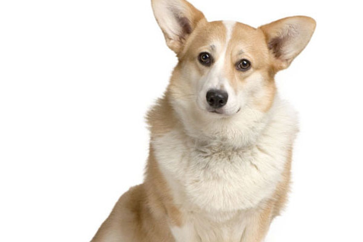 Corgis, apparently, are now for sale on Lyst. Photo: Lyst