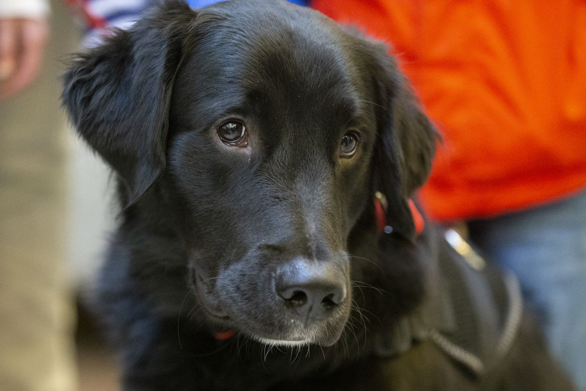 Service dog Nick looks around the area as Army veteran Daniel Seelye and his family attend an event where Seelye is officially given a service dog at Fashion Place Mall in Murray on Wednesday, Dec. 19, 2018. Scientists at the London School of Hygiene and Tropical Medicine are funding a project that seeks to train dogs to detect COVID-19 carriers.