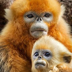 """Tao Tao, a golden snub-nosed monkey, with his mom in """"Born in China."""""""