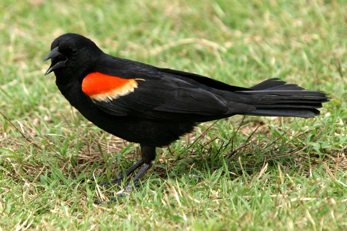 I was of three minds, like a tree in which there are three blackbirds