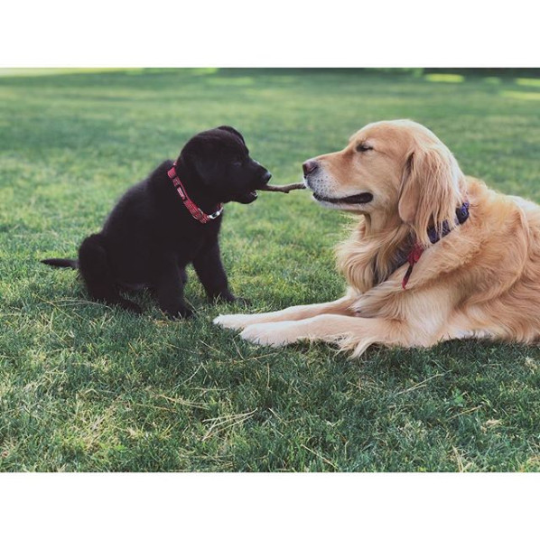 Two adorable dogs playing with a stick