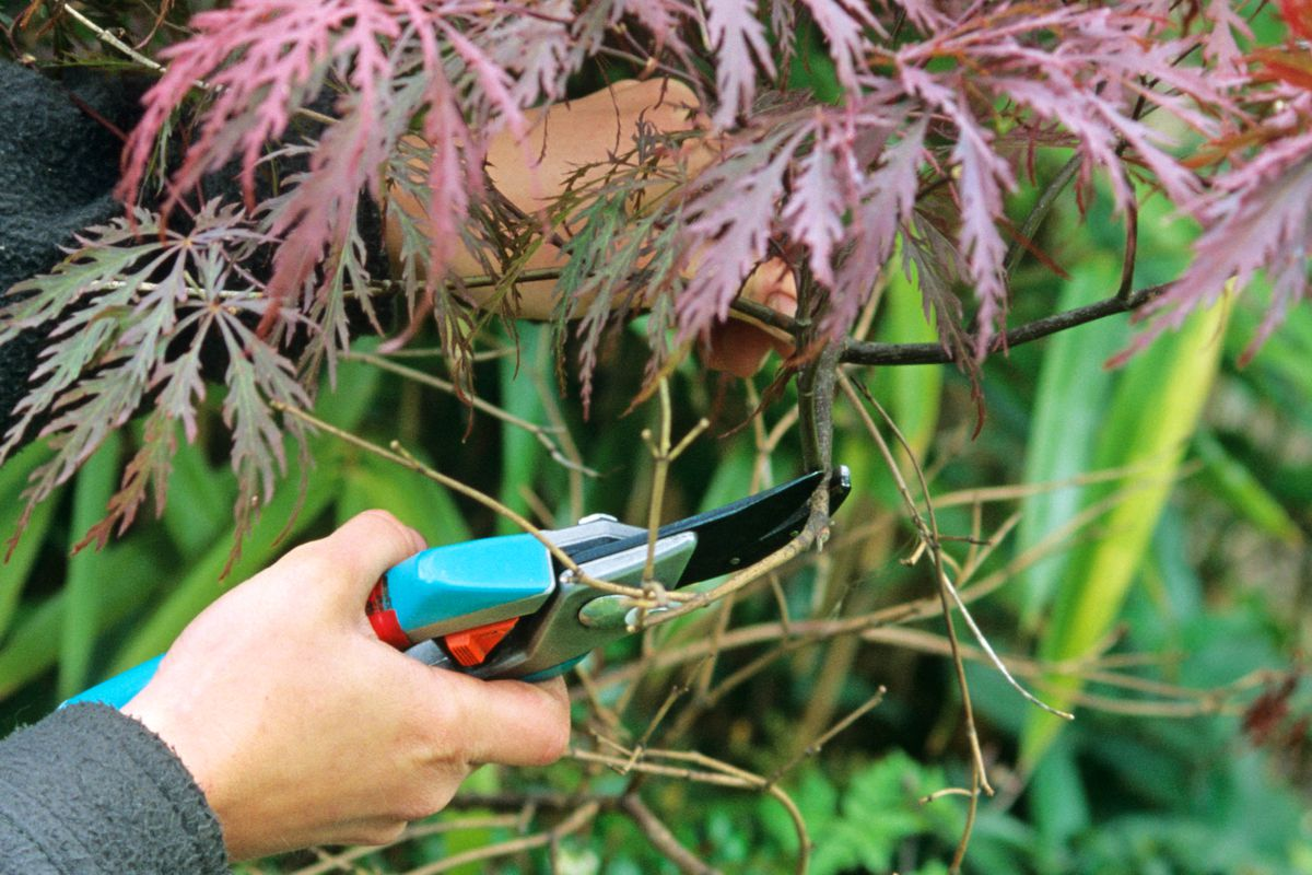 Summer 2021, Summer Checklist, pruning a Japanese maple