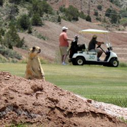 This May 21, 2009, photo shows a prairie dog standing on a dirt mound as golfers play a round at the Cedar Ridge Golf Course in Cedar City.