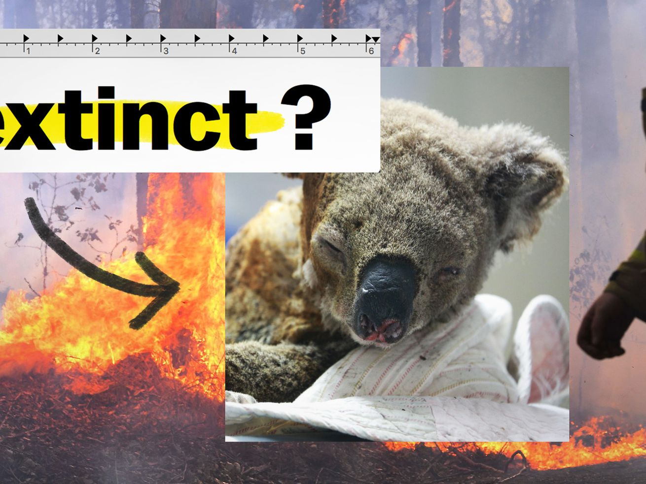 Are Australia's koalas going extinct? We asked an ecologist., Wustoo
