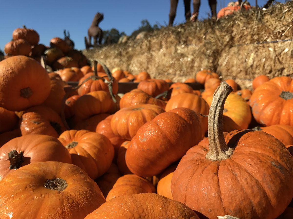 A pile of orange pumpkins in a pumpkin patch in San Francisco.