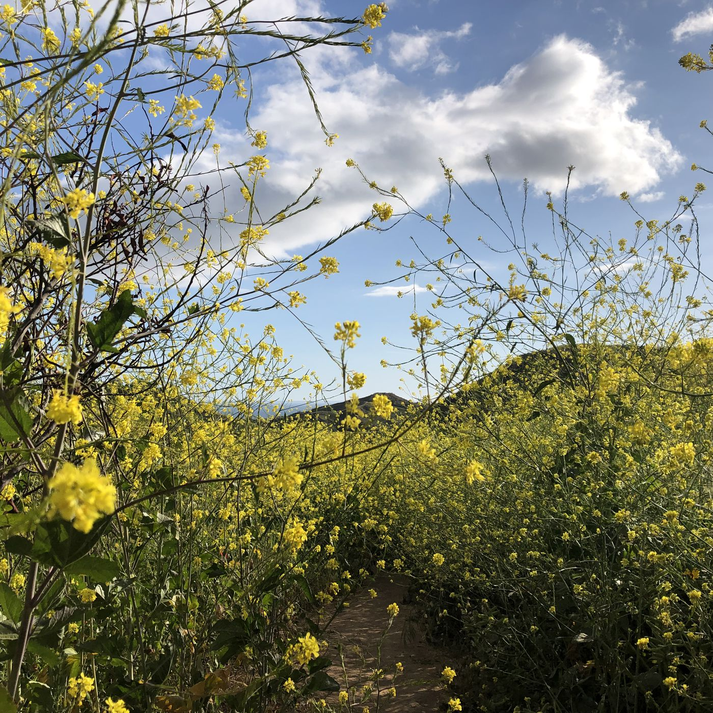 Super Bloom Brings Evil Yellow Mustard Flowers Curbed La