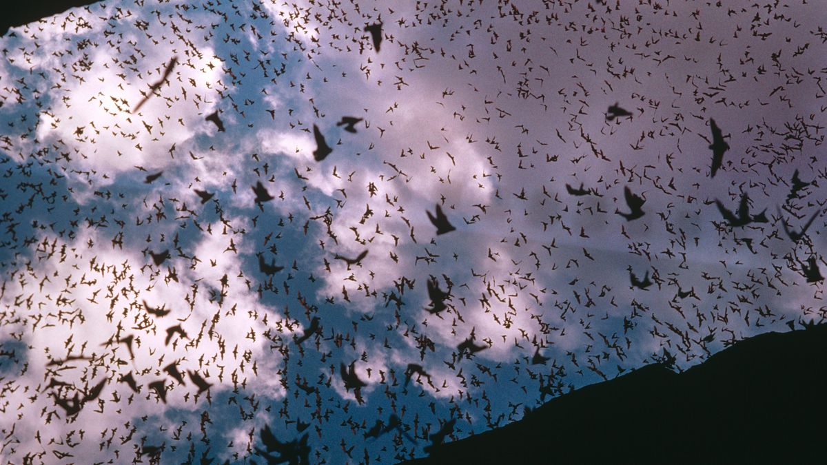 Mexican free tail bats, Tadarida brasiliensis, swarming out of cave, New Mexico, USA