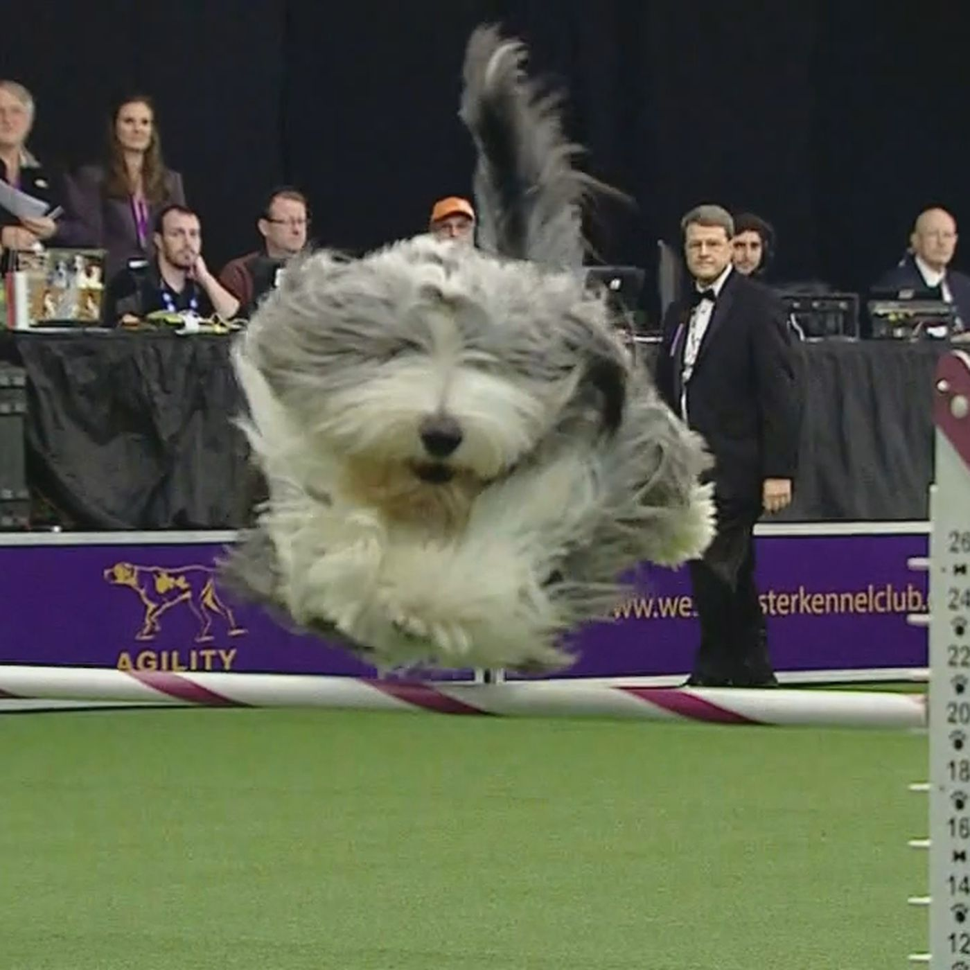 Bing the bearded collie wrecked the game at the Masters