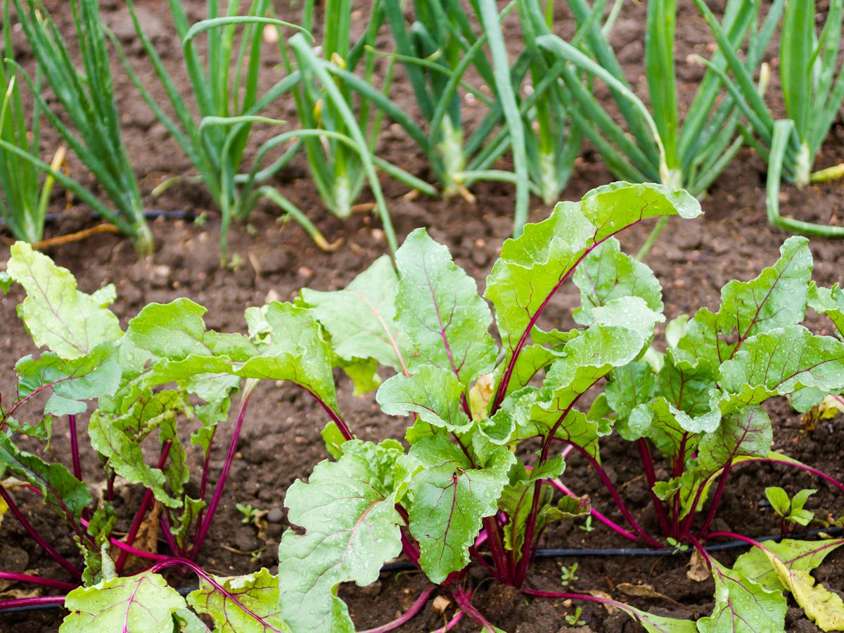 Vegetables growing in an urban garden.