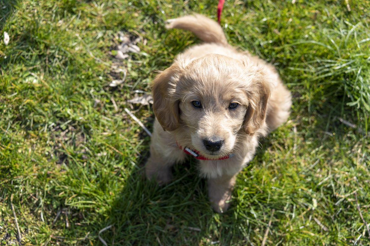 Puppy, Goldendoodle