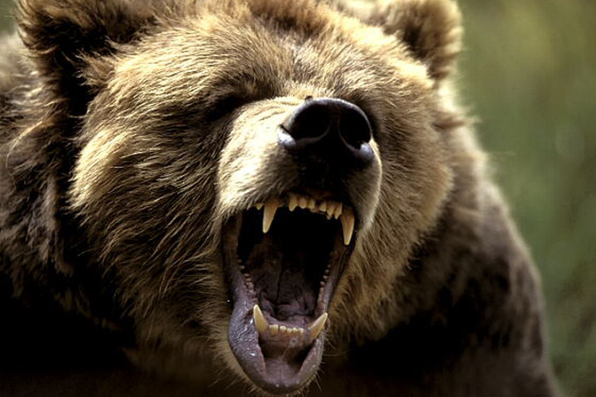Game 4 Preview: Time to Make Your Bear Face - Grizzly Bear ...