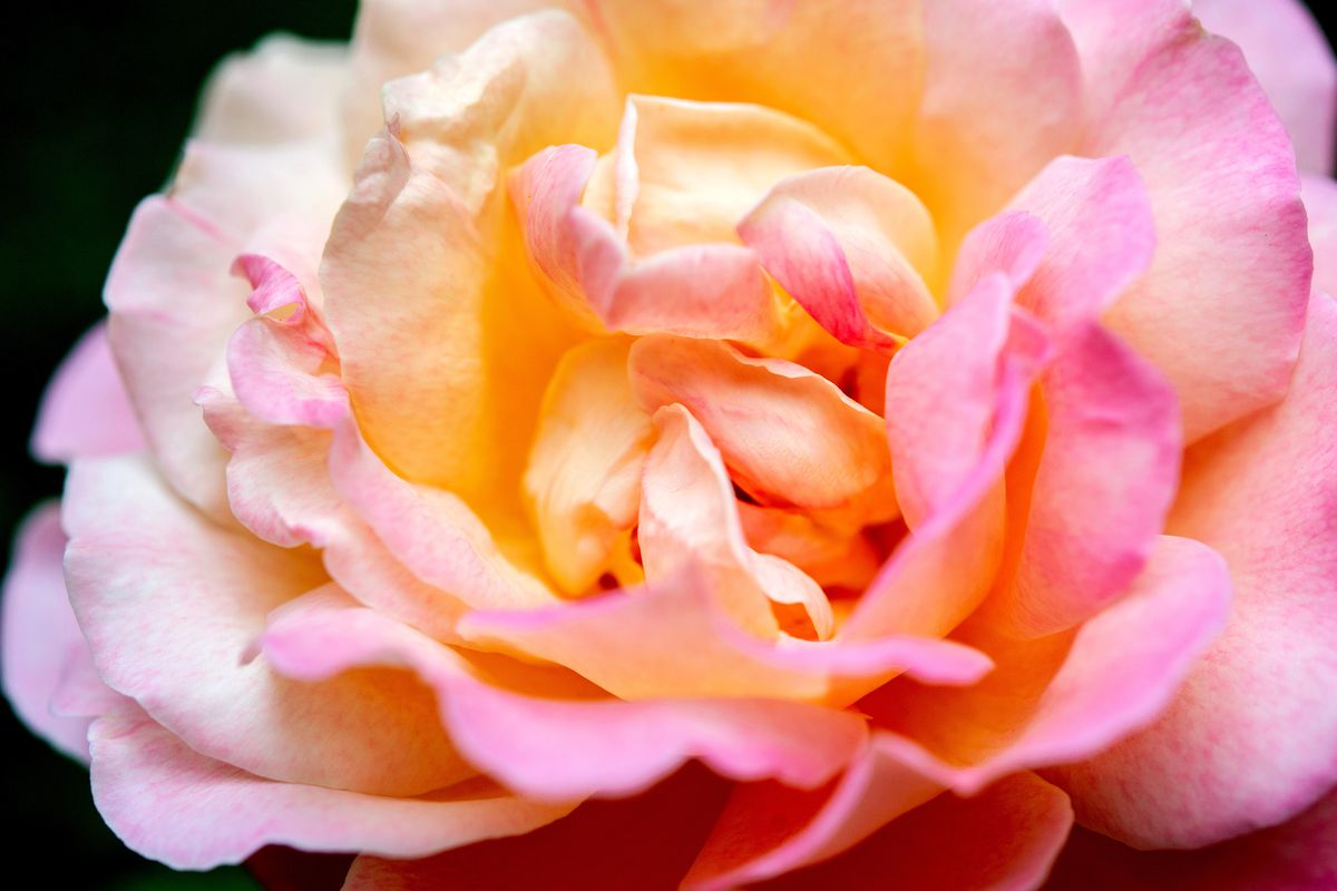 Close-up of a pink and orange rose.