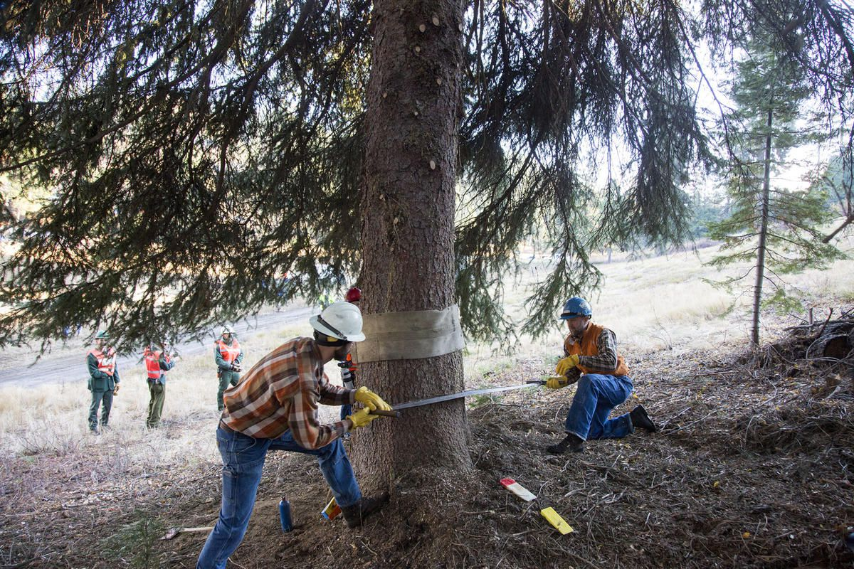 Using a traditional crosscut saw U.S. Forest Service workers Chris Niccoli and Jared Schuster, left, cut down an 80-foot Engelmann spruce tree in the Payette National Forest west of McCall, Idaho, Wednesday, Nov. 2, 2016. The tree will soon start a cross-