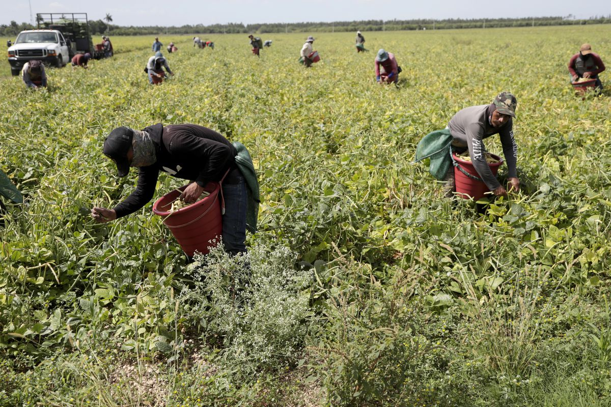 In this May 12, 2020, file photo, farmworkers harvest beans during the coronavirus outbreak in Homestead, Fla.