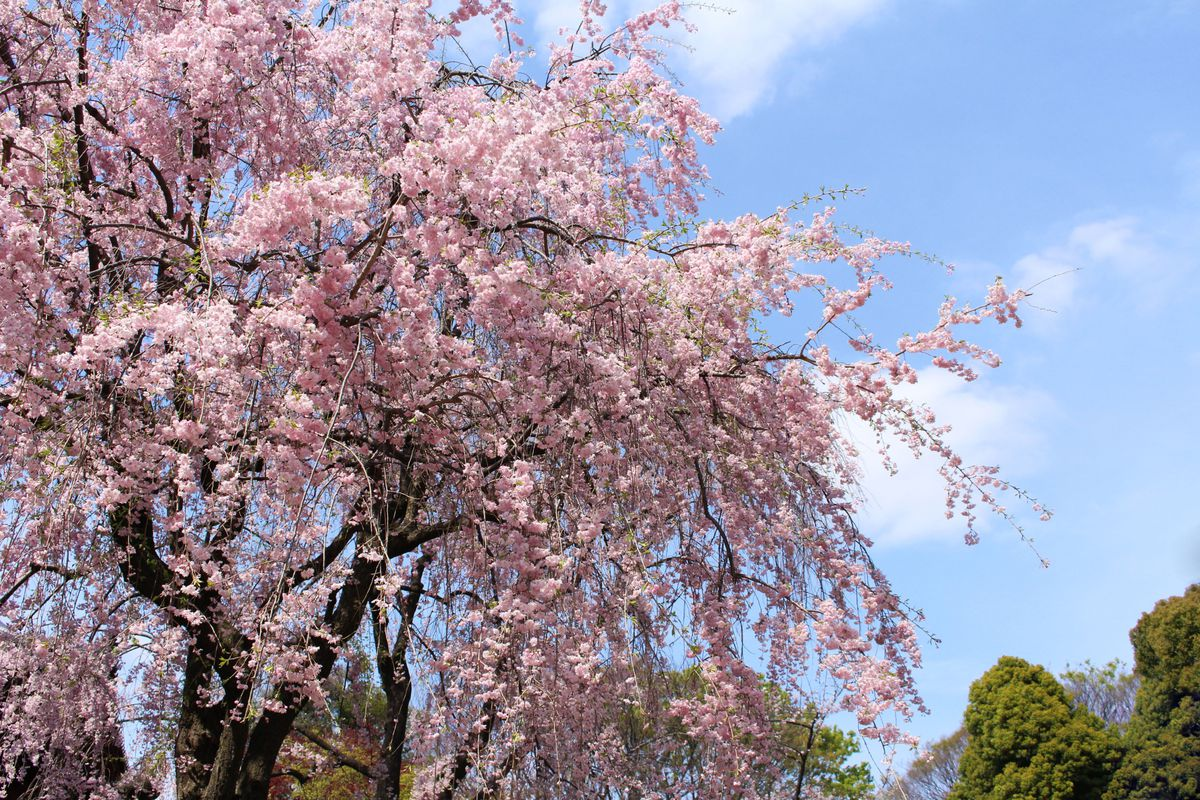 Pink Weeping Cherry Trees