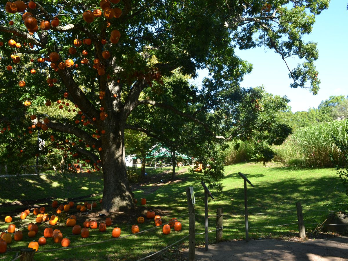 A tree with lots of pumpkins underneath it.
