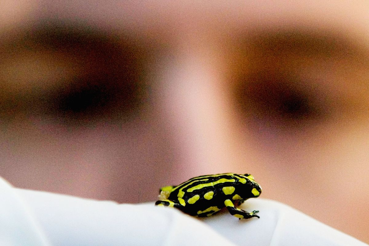 Rescue Mission To Save Endangered Corroboree Frogs