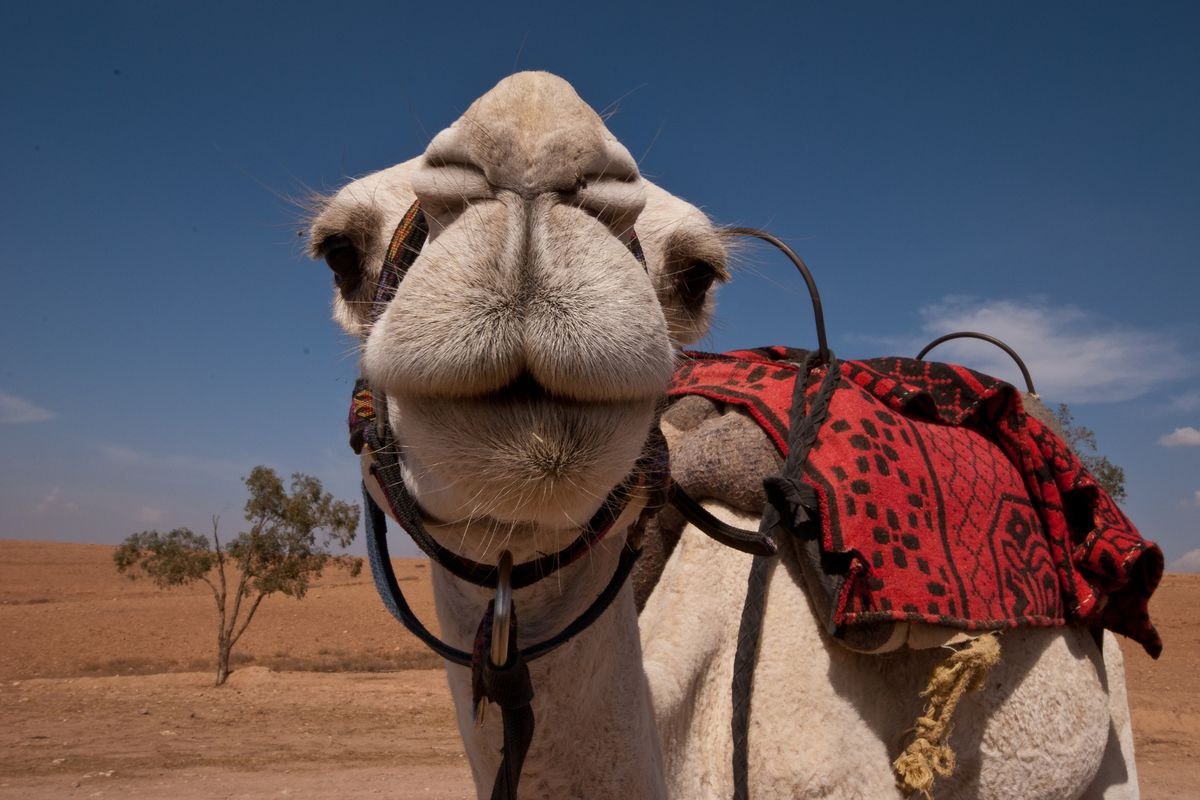 A dromedary camel