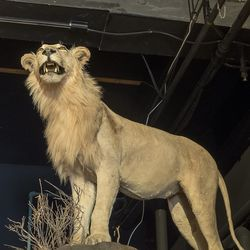 Every restaurant needs a taxidermy lion