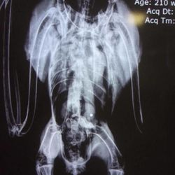 The Wildlife Rehabilitation Center of Northern Utah says it has lost eight bald eagles to lead poisoning since December. In lost three of the majestic birds in as many weeks. An X-ray of one of the birds shows it swallowed a piece of buckshot. It underwent surgery, but died shortly after.