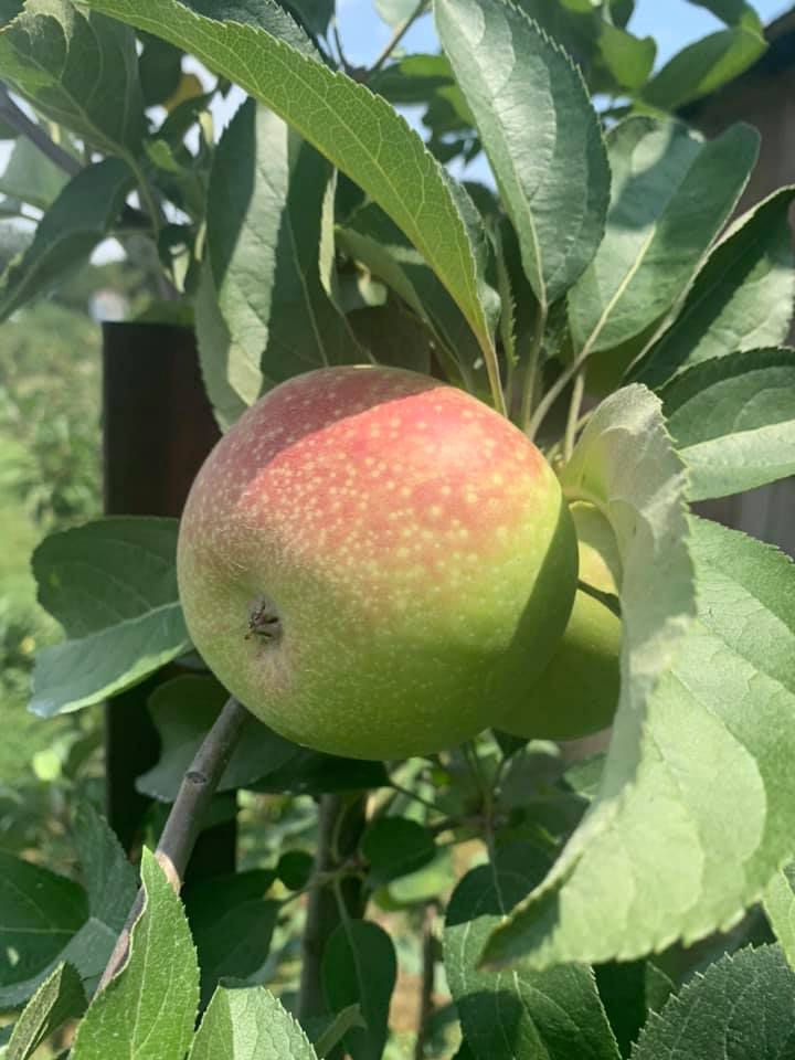 A plump red and green apple jutting out from a leafy branch on an apple tree