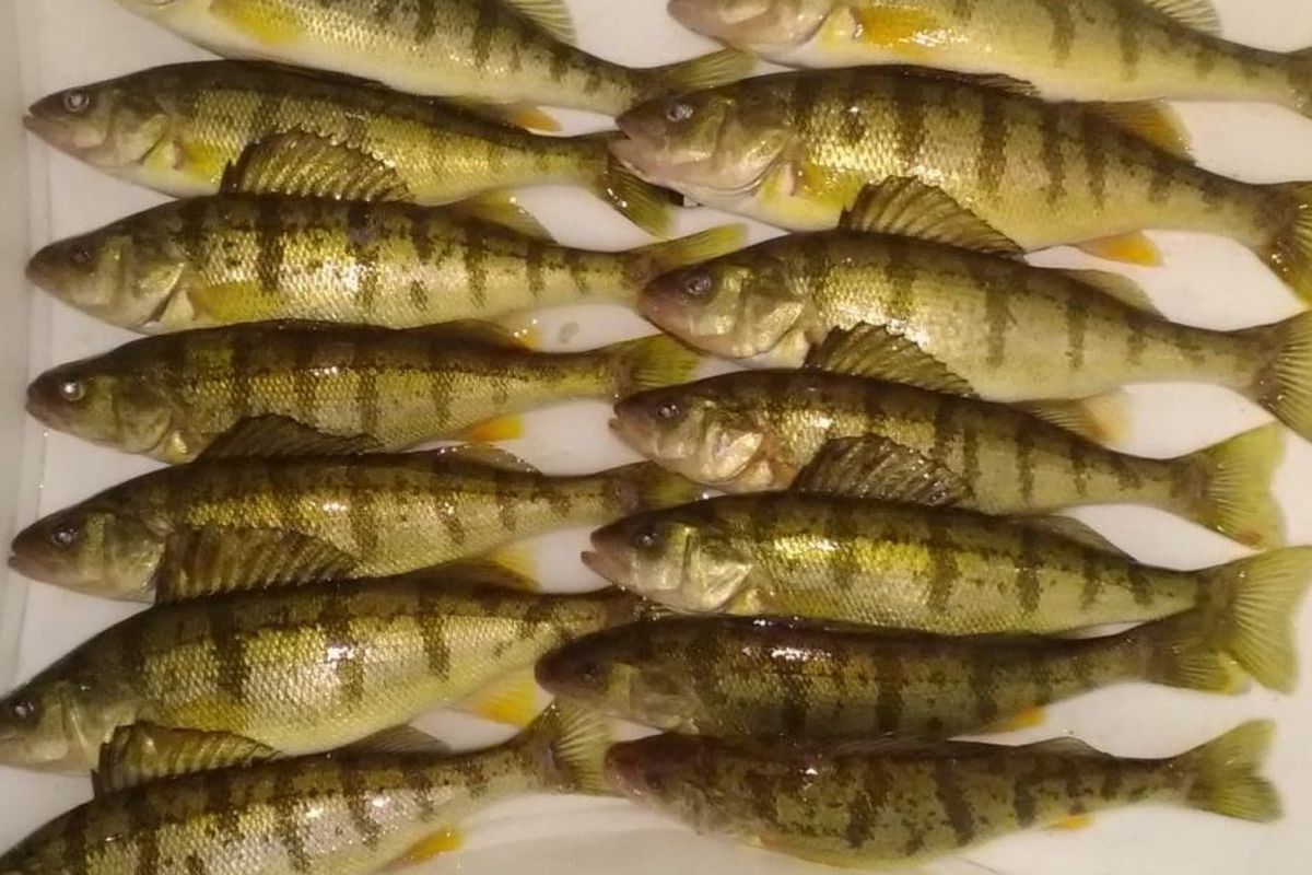Seeking safe ice, variable perch: Chicago fishing, Midwest