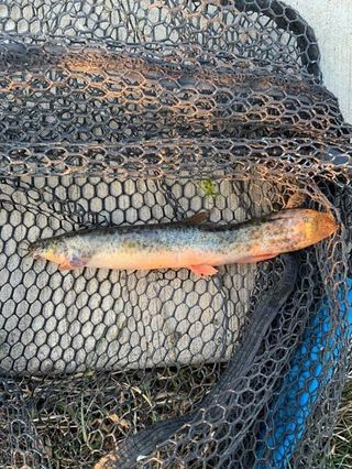 A loach caught at River Park near the confluence of the North Branch of the Chicago River and the North Shore Channel. Provided by George Watford