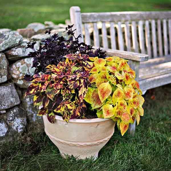 Coleus Plants: 'Duke of Swirl'; 'Midnight Rambler'; 'Juicy Lucy'
