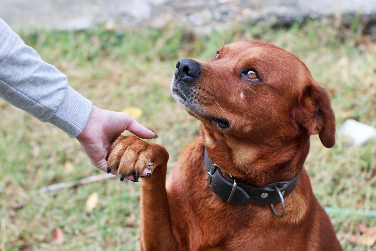 A brown-reddish dog with a black nose and black collar holds up his paw to his owner's hand who is wearing a grey shirt.
