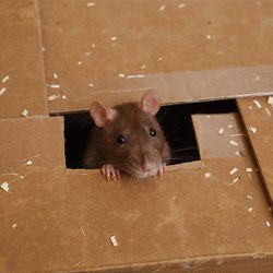 A pet rat climbs from a box at the home of Karen Robbins, president of the Riverside-based American Fancy Rat and Mouse Association, at her home in Los Angeles.