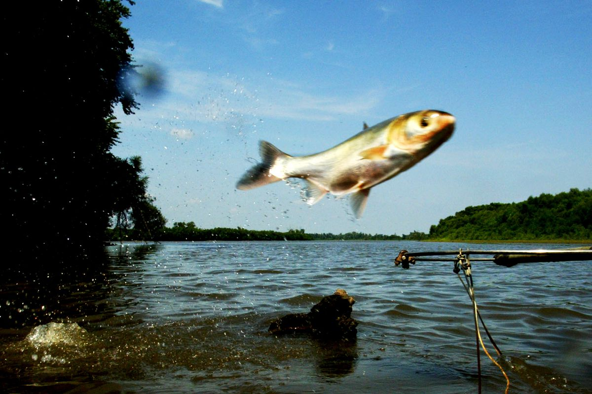 09/03/03- Illinois River in central Illinois - the invasive species silver carp jump out of the Illinois River - they are slowly advancing north and may become a factor in the Great Lakes in the future