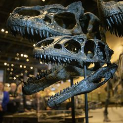 Casts of allosaurus skulls are pictured at the Utah Museum of Natural History during the unveiling of Allosaurus jimmadseni, a new species of meat-eating dinosaur, at the museum in Salt Lake City on Friday, Jan. 24, 2020. The beast inhabited the flood plains of western North America 157 million years ago, making it the geologically oldest species of allosaurus.