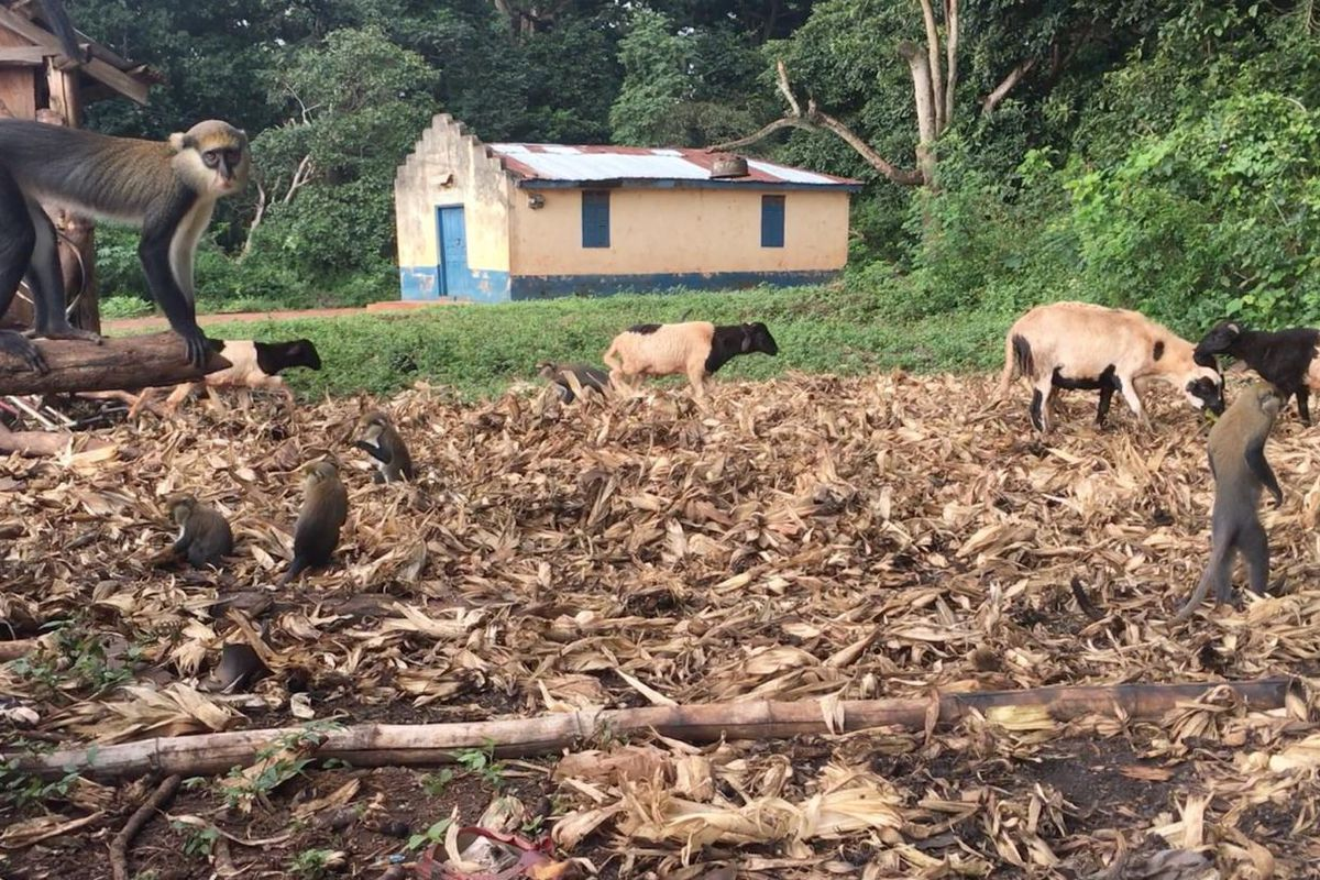 Primates and livestock explore the grounds outside a residence in Ghana.
