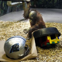 Tuah, an orangutan at Salt Lake City's Hogle Zoo, touches a Carolina Panthers helmet in his enclosure on Thursday, Feb. 4, 2016. Tuah picked the Carolina Panthers to beat the Denver Broncos in Super Bowl 50, which will be played Sunday at Levi's Stadium in Santa Clara, California. For the past eight years, an animal at Hogle Zoo has correctly predicted the winner of the Super Bowl.