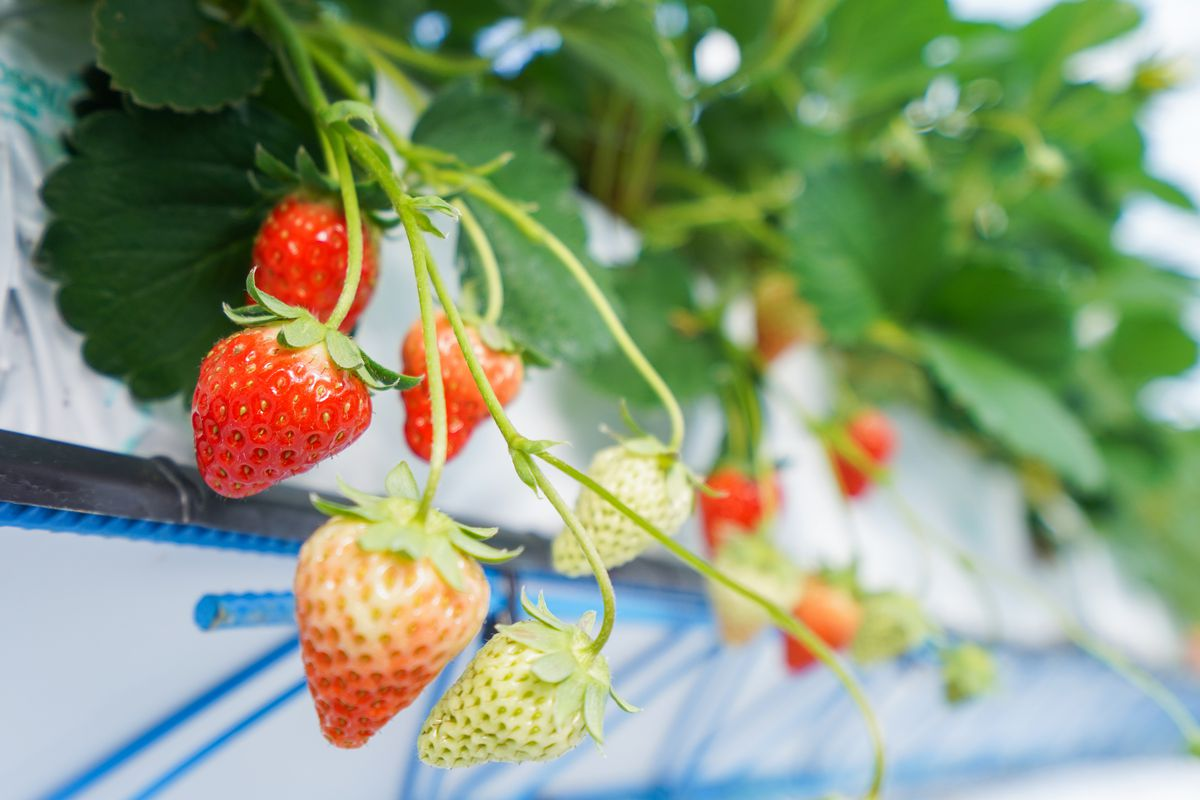 Strawberries of differing ripeness hang from a hydroponic watering system.