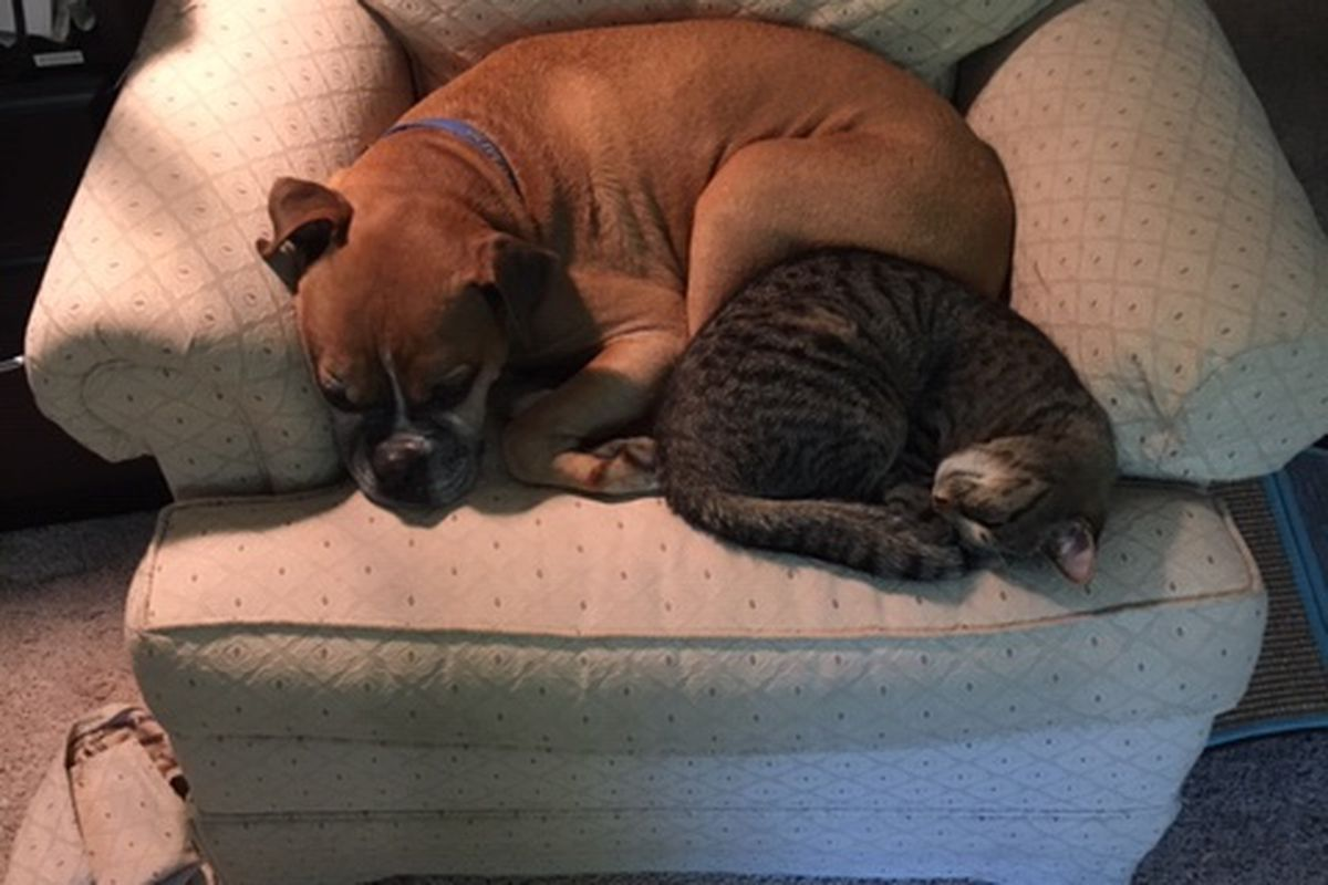 An easy chair with a brown boxer dog and a gray-and-black striped cat curled up sleeping next to each other.