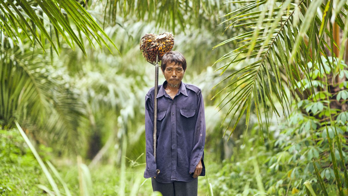 A man in a forest hoists a palm oil tree on a pitchfork