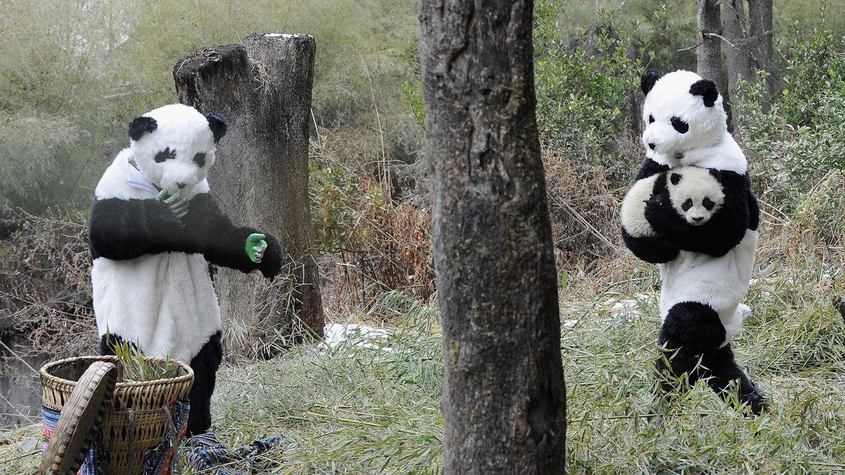 saving the pandas means dressing like a panda racked