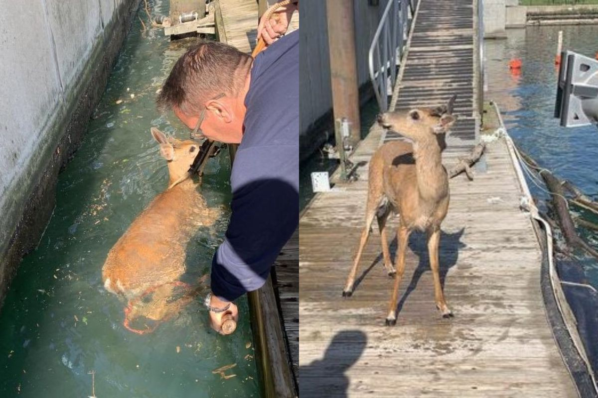 Police rescued a deer May 29, 2020, in the Chicago River near the 400 block of South Wacker Drive.