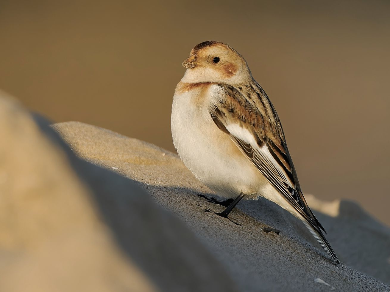 A snow bunting at Montrose Harbor this week. Credit: Emil Baumbach