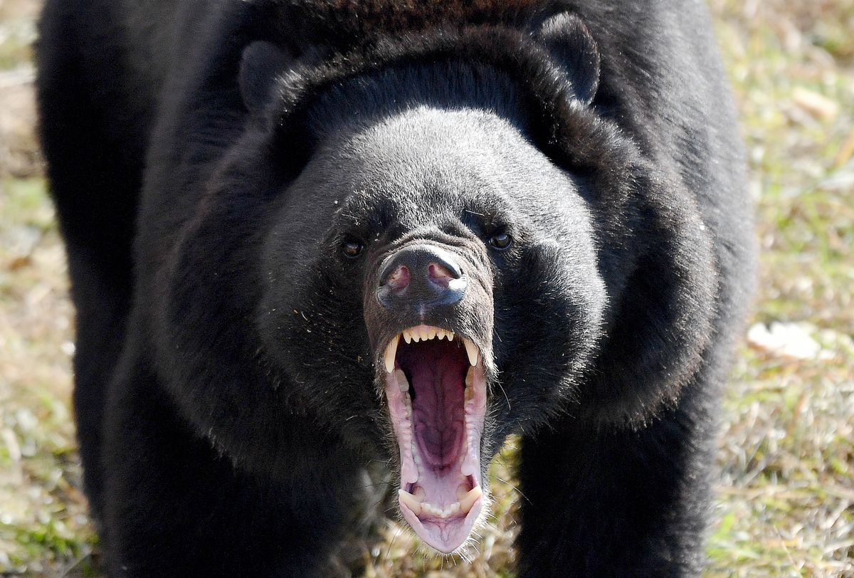 First Asian black bear shelter in Russia opens in Primorye Territory