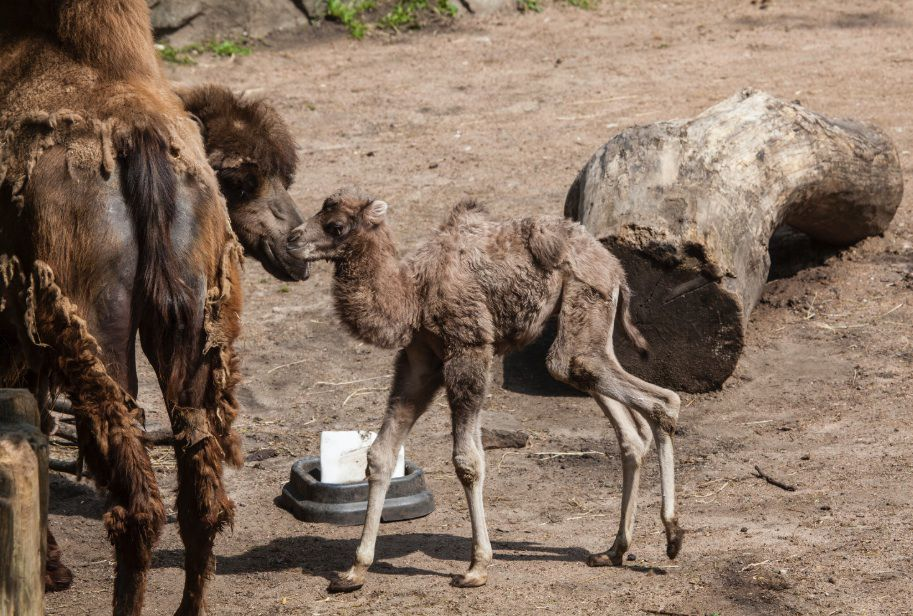 The male Bactrian camel calf born at Lincoln Park Zoo stands four feet tall and weighed 81 pounds at birth.   Christopher Bijalba / Lincoln Park Zoo