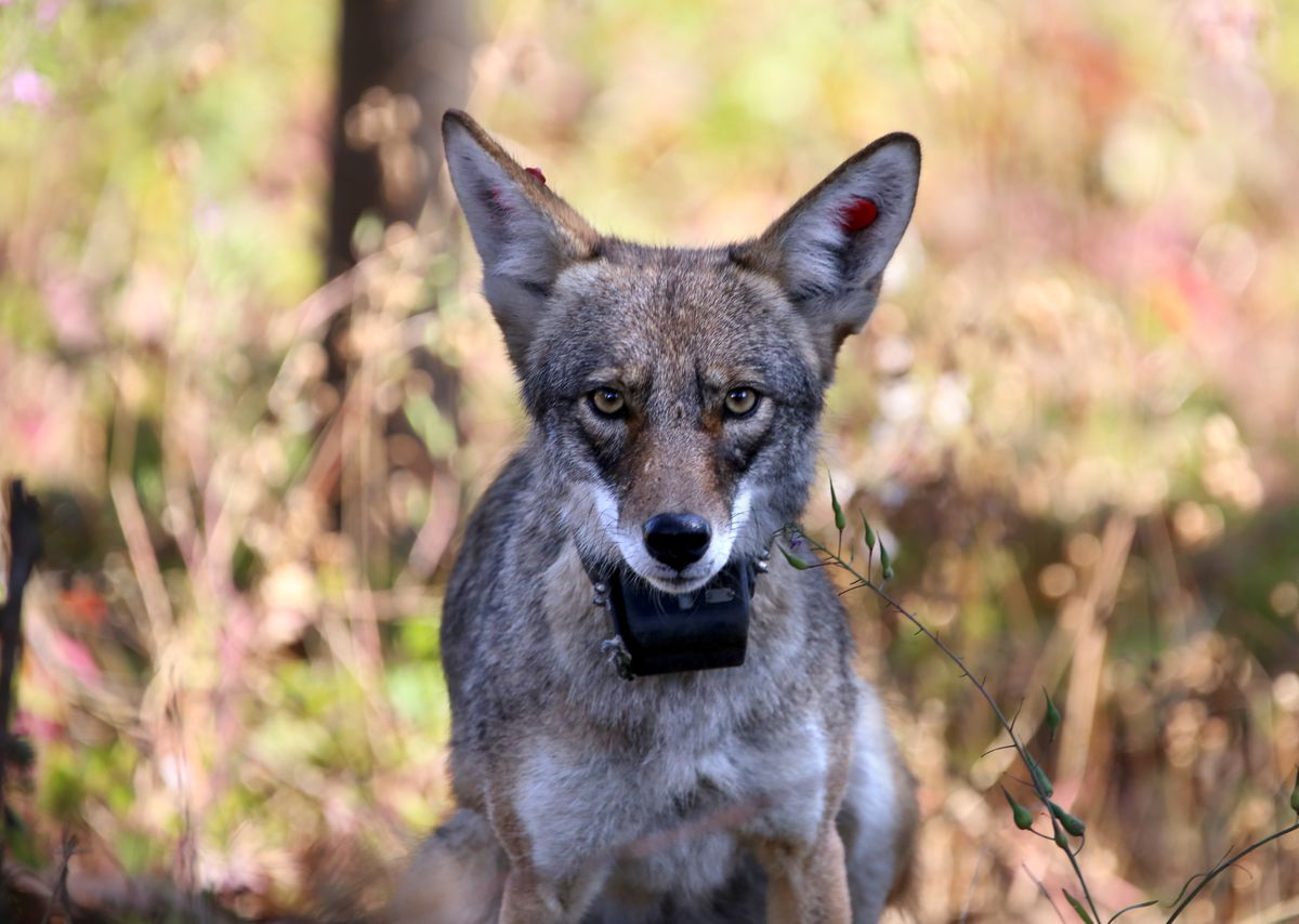 An urban coyote up close