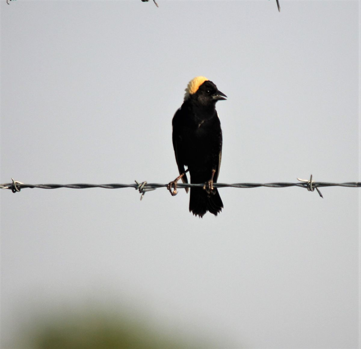 Bobolink on barbed wire at Midewin National Tallgrass Prairie. Credit: Les Winkeler